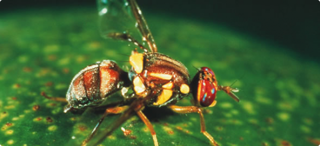 Biosecurity alert – Queensland fruit fly detection in Fremantle